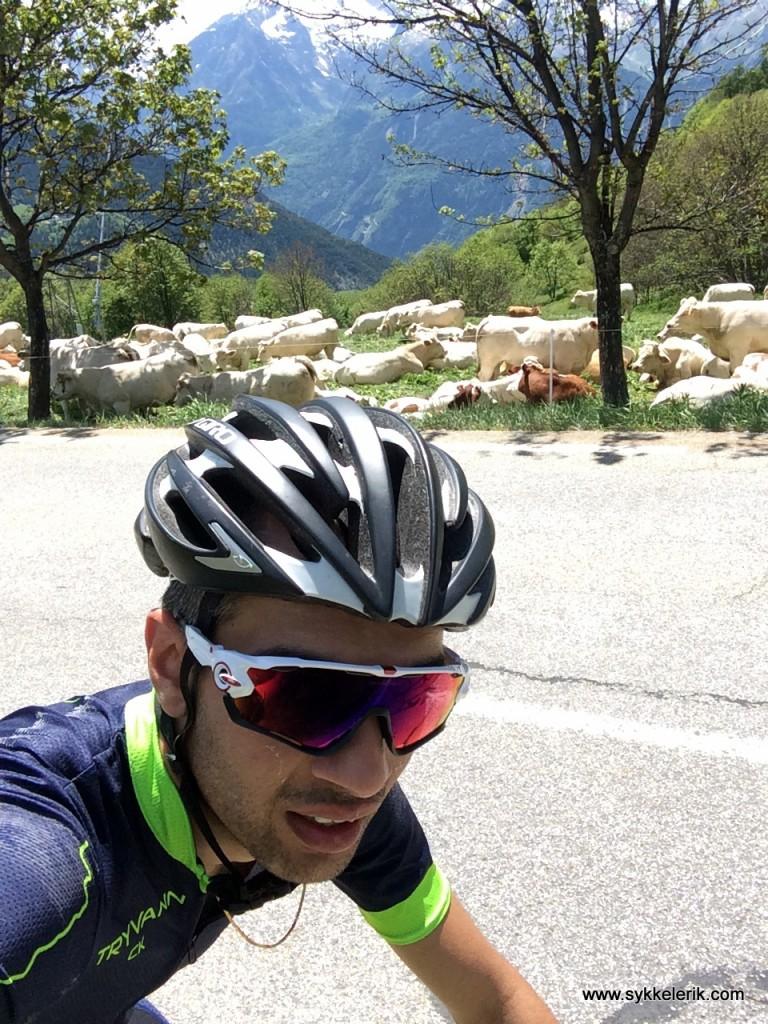 Kyrne lever et behagelig liv i skråningene ved Alpe d'Huez.